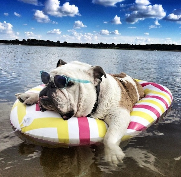 Bulldog at the beach - how to care for pets in summer