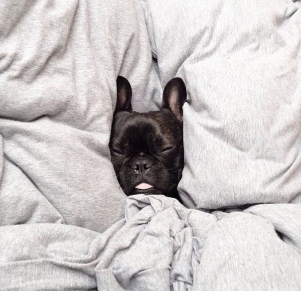 Cute French Bulldog in bed - win a new bed with Carpetright