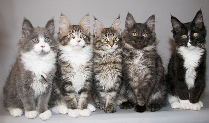 most affectionate cat breeds maine coon