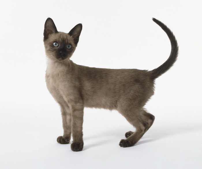 most affectionate cat breeds tonkinese