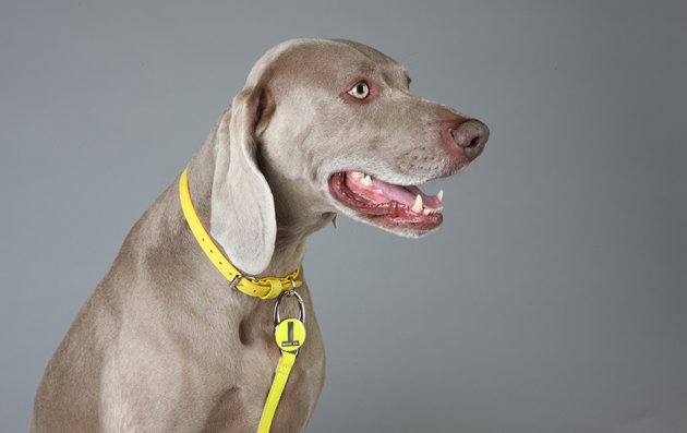 Ted Baker Spring Collection fo Patent Leather Dog Collars and Leads