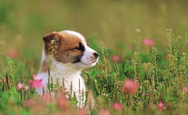 puppy_dog_on_flower_grass_field-wide