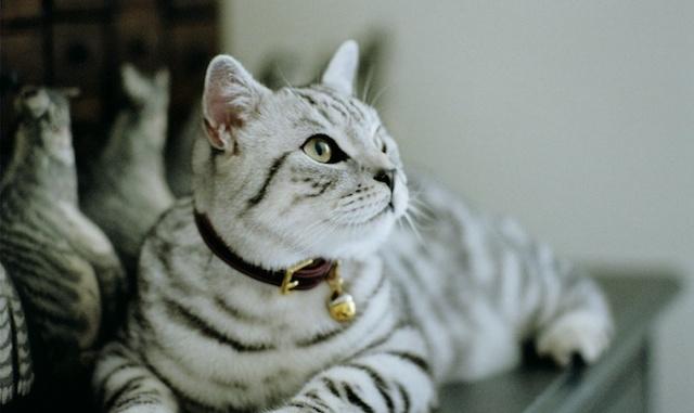 Cheshire & Wain Luxury Leather Cat Collars