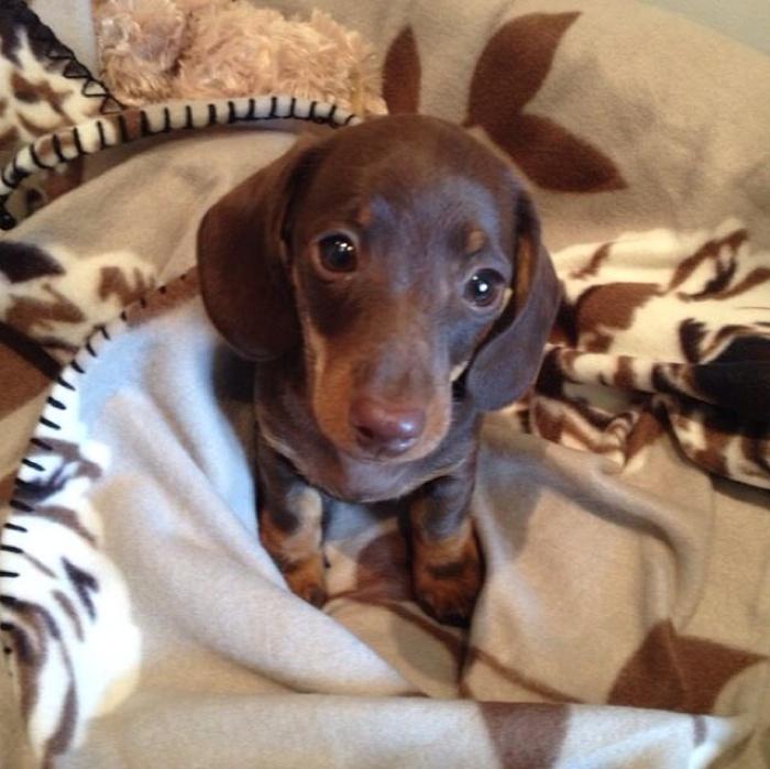 Otto the Dachshund Puppy