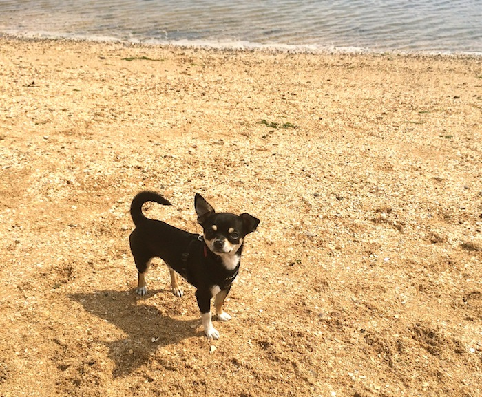 Buddy the Chihuahua