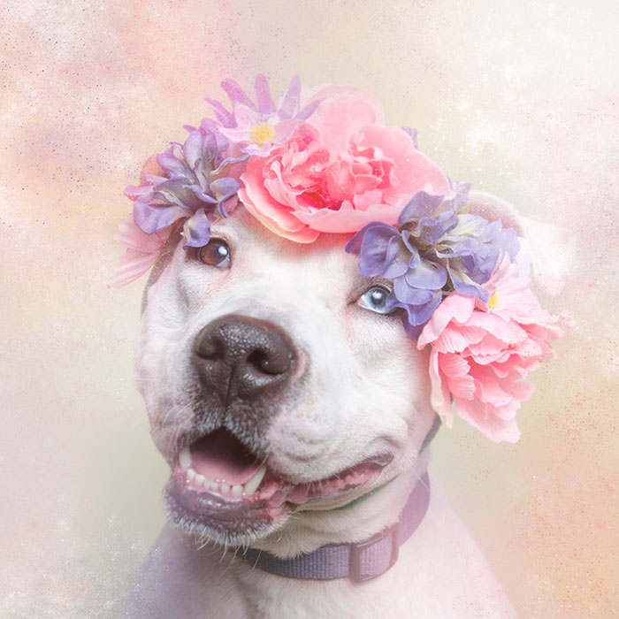 PHOTOGRAPHY - Flower Power Pit Bulls by Sophie Gamand