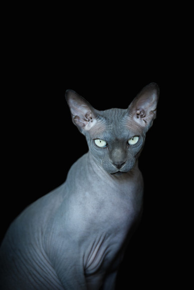 Photography Sphynx Cats By Alicia Rius Styletails
