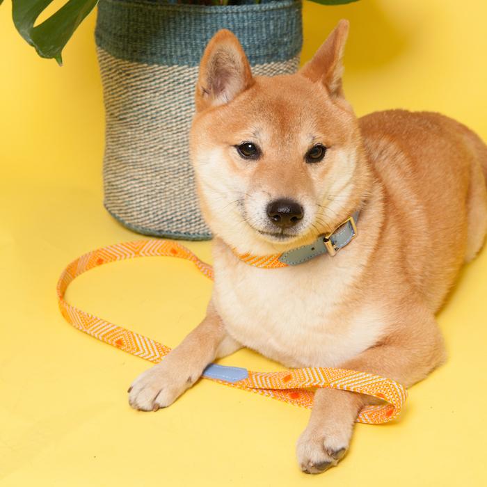 Hiro and Wolf Sunset dog collar and lead