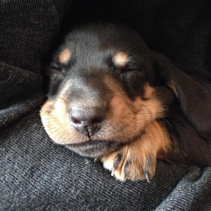 bruno the mini dachshund