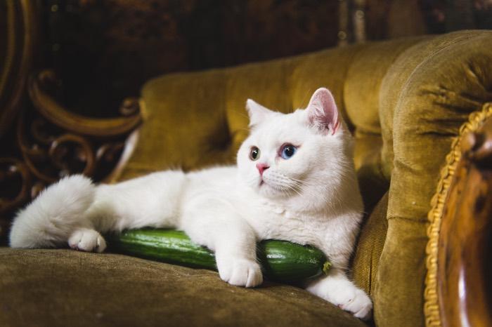 henricks gin cats cucumbers