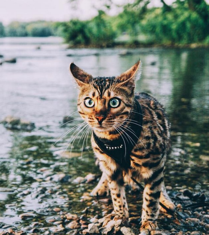 how to train your cat to walk on a lead
