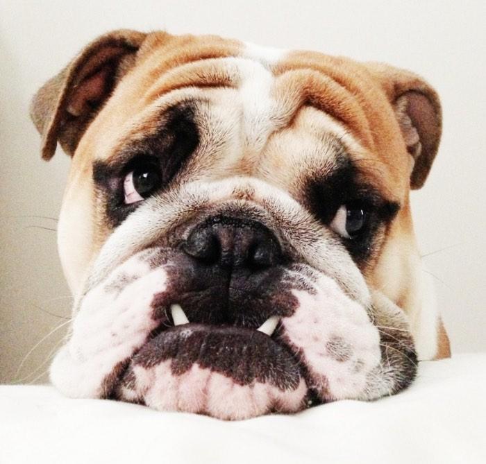 Duncan the english bulldog