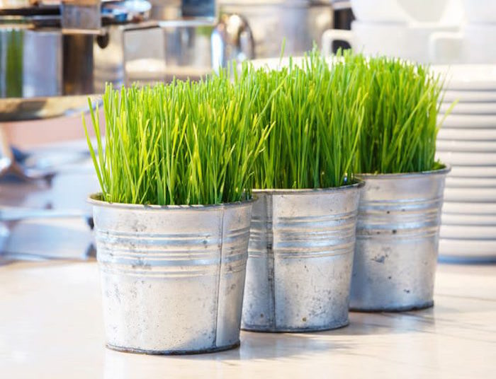 grow your own cat grass