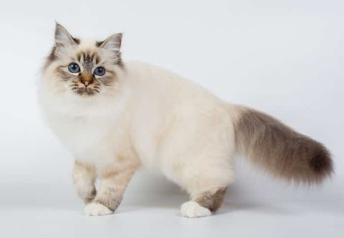 most affectionate cat breeds birman