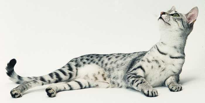 most affectionate cat breeds egyptian mau