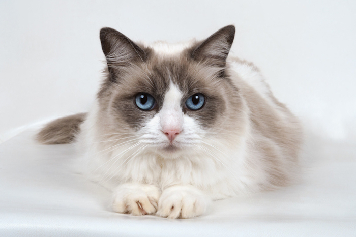 6 Most Affectionate Cat Breeds | STYLETAILS