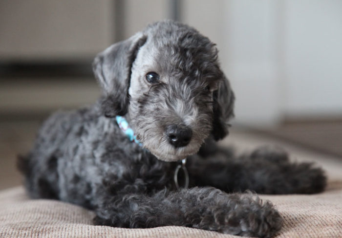 Bedlington Whippet Rescue Dogs