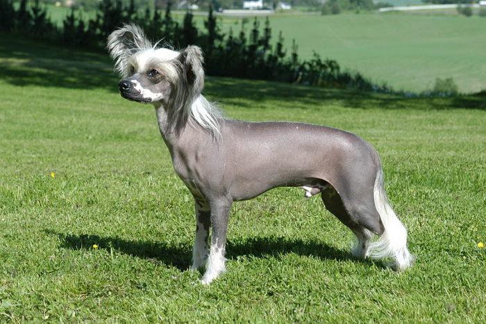 Chinese Crested Rarest Dog Breeds