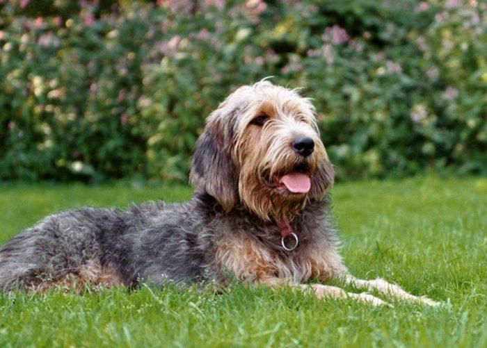 Otterhound Rarest Dog Breeds