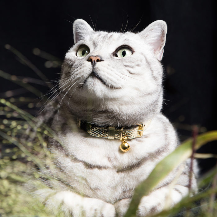 Caspian luxury cat collar Cheshire Wain