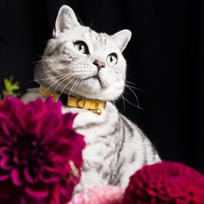 Persian luxury cat collar