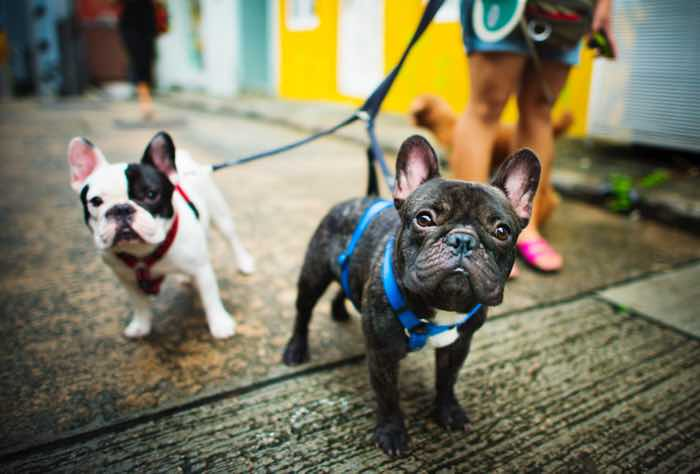guide to owning a french bulldog styletails