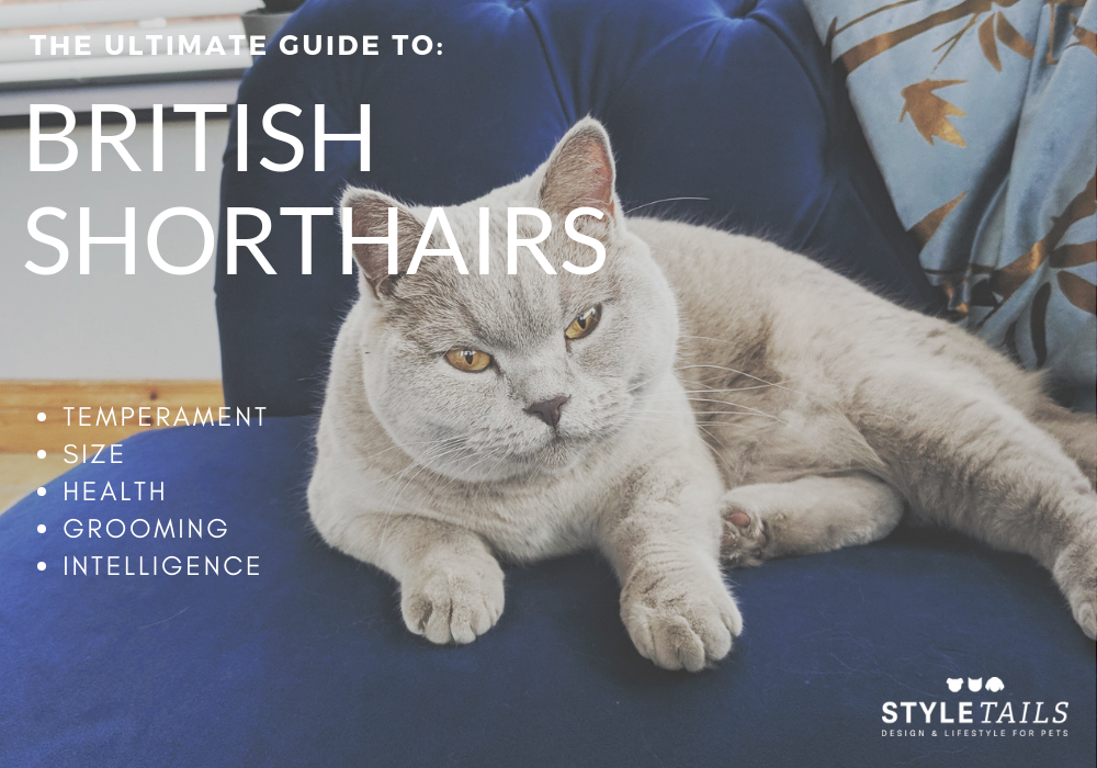 guide to owning a British shorthair cat